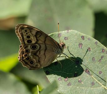 Northern Pearly-eye, Occoquan Bay National Wildlife Refuge, Woodbridge, VA