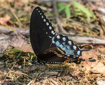 Spicebush Swallowtail, Occoquan Bay National Wildlife Refuge, Woodbridge, VA