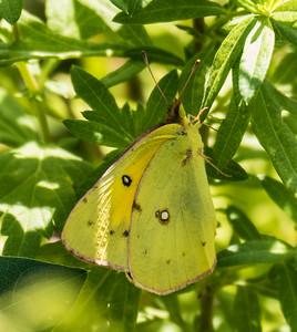 Orange Sulphur, Occoquan Bay National Wildlife Refuge, Woodbridge, VA