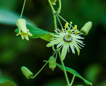 Yellow Passionflower, Occoquan Bay National Wildlife Refuge, Woodbridge, VA
