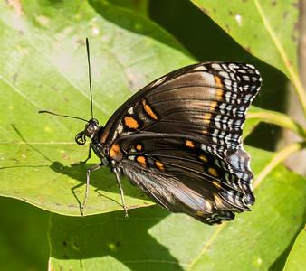 Red-spotted Purple, Occoquan Bay National Wildlife Refuge, Woodbridge, VA