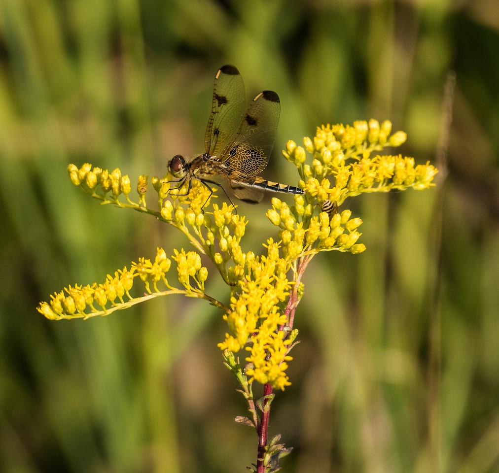 Calico Pennant Dragonfly (female), Occoquan Bay National Wildlife Refuge, Woodbridge, VA