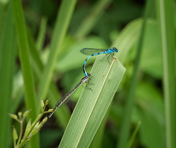 Big Bluet Damselflies in tandem