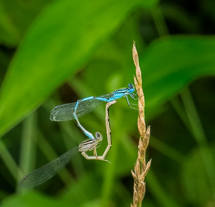 Big Bluet Damselflies in the wheel