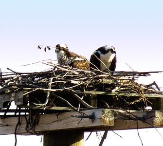 Osprey on Nest at Occoquan Bay NWR