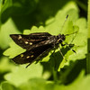 Dark skipper?, Occoquan Bay NWR, Woodbridge, Va.