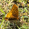 Great Spangled Fritilary