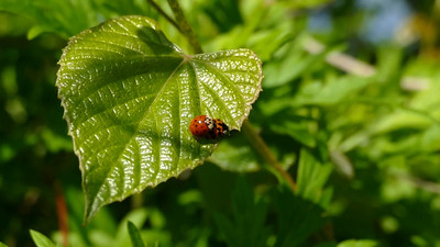 Asian Multicolored Lady Beetles