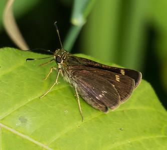 Little Glassywing (male), Occoquan Bay NWR, Woodbridge, Va.