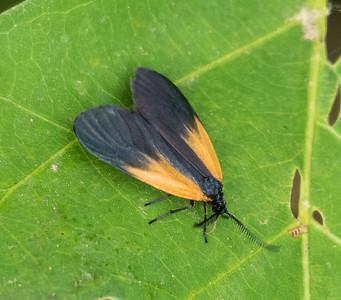 Orange-patched Smoky Moth (Pyromorpha dimidiata), Occoquan Bay NWR, Woodbridge, Va.