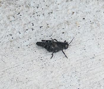 Grasshopper sp.?, Occoquan Bay NWR, Woodbridge, Va.