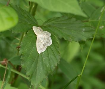 Large Lace-border Moth (Scopula limboundata)