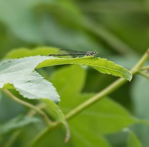 Fragile Forktail (female)