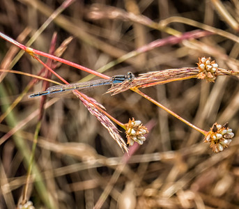 Familiar Bluet (blue-form female)