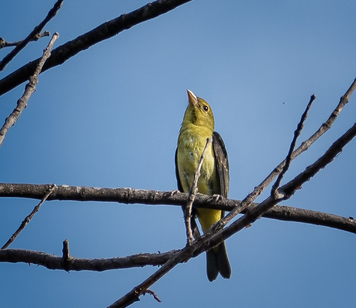 Scarlet Tanager (view 1 of 2)