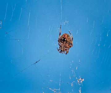 Spotted Orbweaver Spider (Neoscona crucifera)