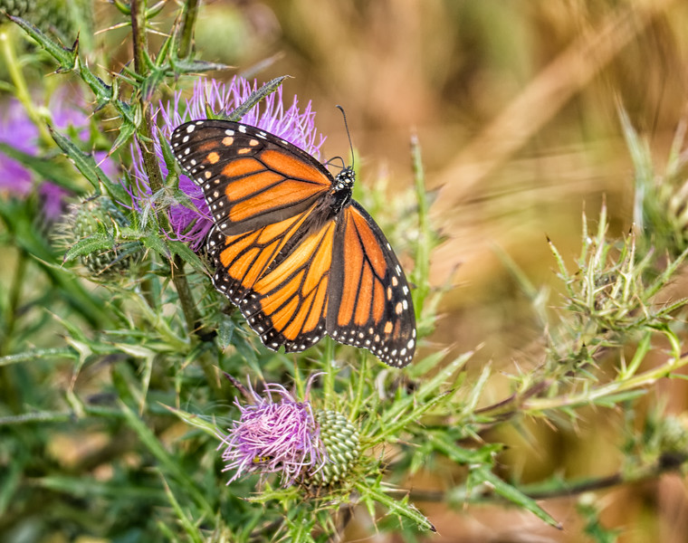 Monarch (female)