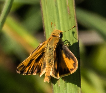 Fiery Skipper (male)