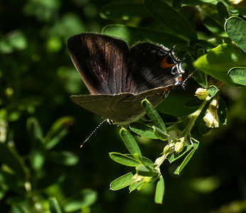 Gray Hairstreak (no. 2)