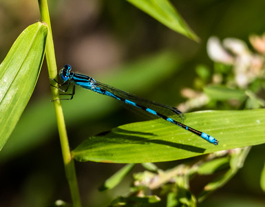 Big Bluet Damselfly (no. 2)