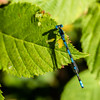 Big Bluet Damselfly (no. 1B)