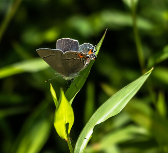Gray Hairstreak (no. 1)