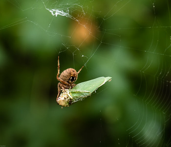 Barn Spider (Neocona crucifera) with Katydid Remains
