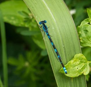 Big Bluet (probable) with unusual markings (no. 2)
