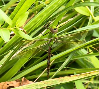 Common Green Darner (female)