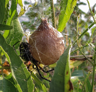Black and Yellow Argiope Spider with Egg Sac