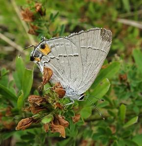 Gray Hairstreak (worn)