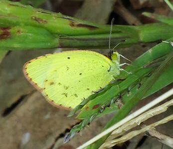 Little Yellow (male)