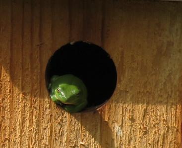 Green Treefrog Squatter