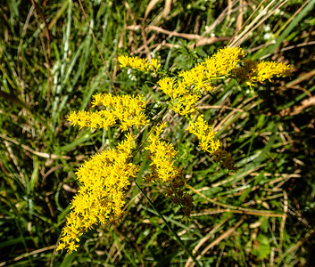 Early Goldenrod (prob.)