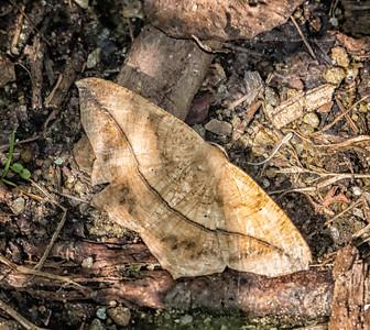 Large Maple Spanworm Moth (Prochoerodes lineola)