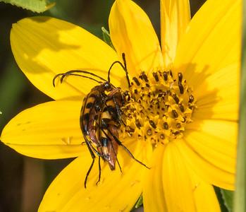 Flower Longhorn sp.