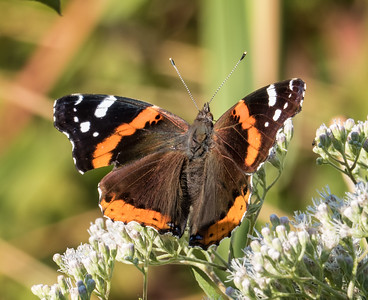Red Admiral (view 2 of 2)