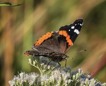 Red Admiral (view 1 of 2)