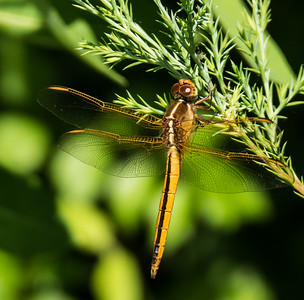 Needham's Skimmer (immature male)