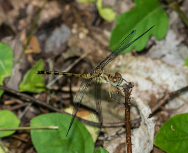 Blue-faced Meadowhawk (mmature male)