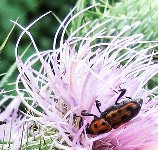 Weevil (Rhodobaenus tredecimpunctatus)