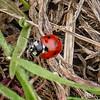 Seven-spotted Lady Beetle (Coccinella septumpunctata)