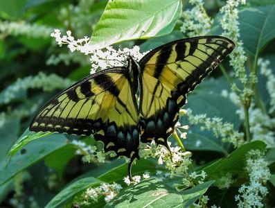 Eastern Tiger Swallowtail (female dorsal)