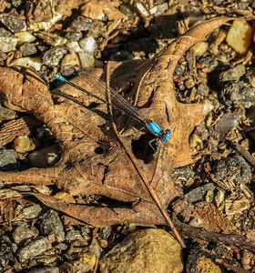 Blue-fronted Dancer (male)
