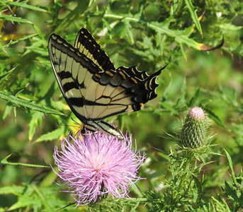 Eastern Tiger Swallowtail (female ventral)