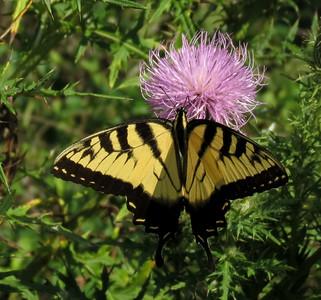 Eastern Tiger Swallowtail (male)