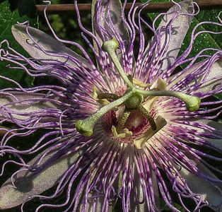 Passion Flower (close-up)