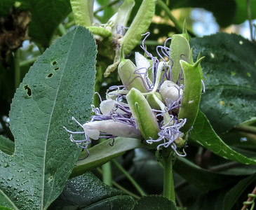 Passion Flower (blossoming)