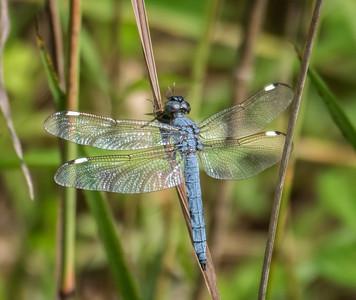 Spangled Skimmer Dragonfly (male)