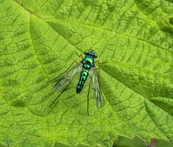 Long-legged Fly (Chrysosoma sp.)